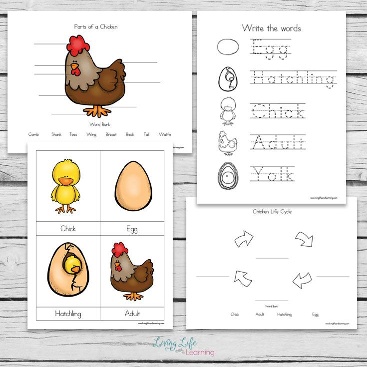Chicken Life Cycle Worksheets For Kids Life Cycles Chicken Life