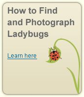The Lost Ladybug Project: We're asking you to join us in finding out where all the ladybugs have gone so we can try to prevent more native species from becoming so rare.