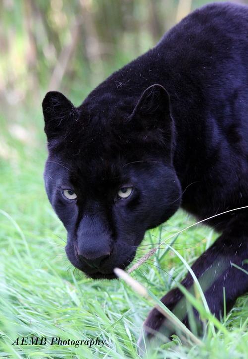 Black Leopard - Sneaky Sneaky | Animal Kingdom | Pinterest ... - photo#12