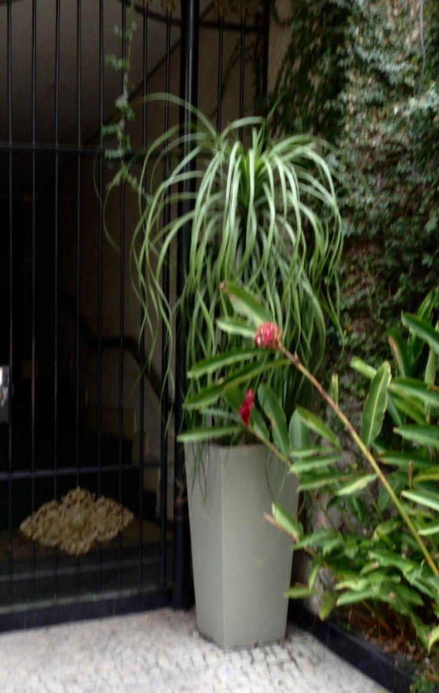 Ponytail Palm plant.
