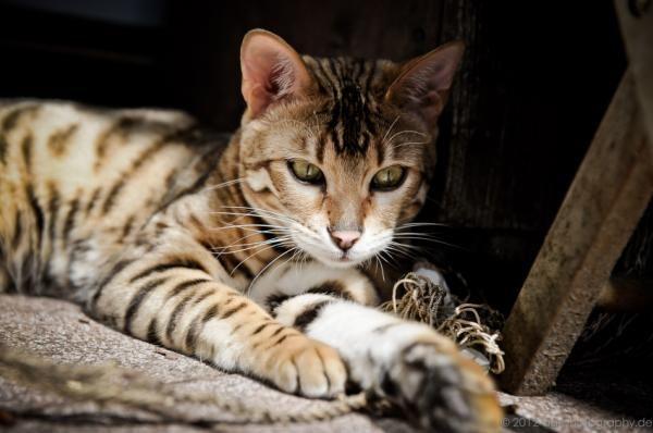 ¿Es el gato de bengala un felino salvaje? #ExpertoAnimal #MundoAnimal #ReinoAnimal #Animales #Naturaleza #Gatos #Felinos #Gatitos #Mascotas