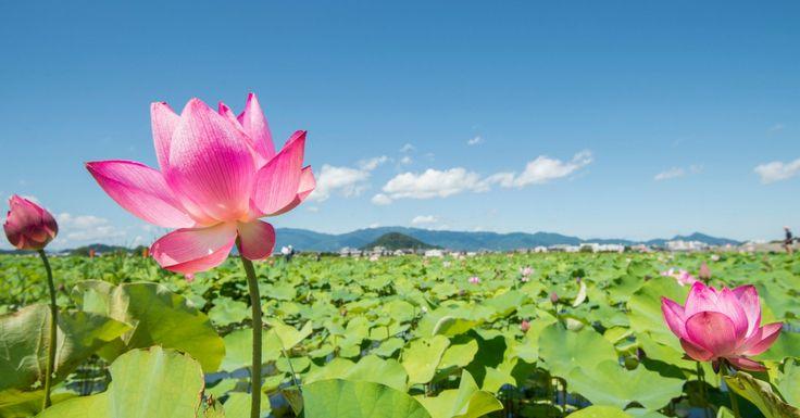 A flor de lótus simboliza o nascimento divino, o crescimento espiritual e a pureza do coração e da mente. Representa as infinitas possibilidades do Homem...