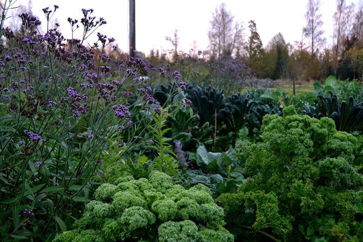 Verbena bonariensis growing with kale.  http://skillnadenstradgard.blogspot.se/2015/01/tid-att-sa-jatteverbena.html #garden #gardening #growyourown #vegetables #trädgård #odla #kitchengarden