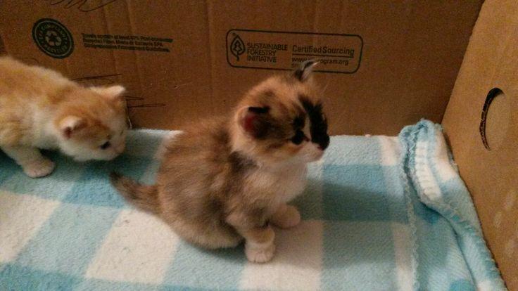 Siberian kittens (Perovskia Siberians)