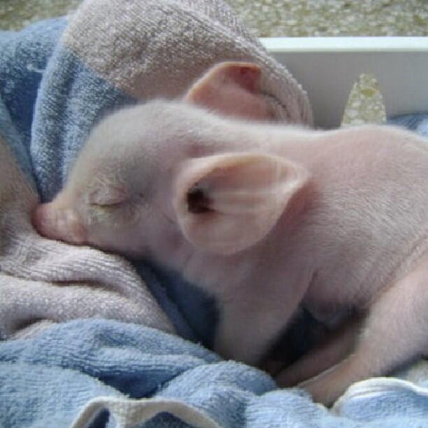 свинка проснулась фото уже делали обзор