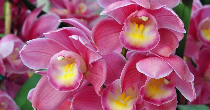 Nombres y características de los 5 tipos de orquídeas más bellas
