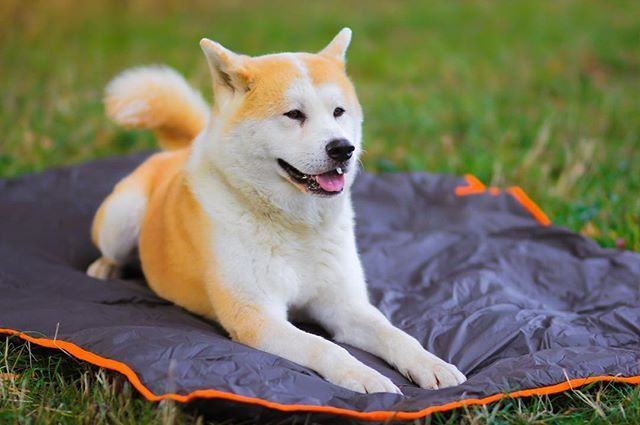 Pohodlie pre celu vasu rodinu na cesty, vylety, camping, picnic akebo domace pouzitie. Lahko sa cisti, zohreje, ochrani pred vetrom i dazdom  W H I T E D O G t r a v e l W R A P www.whitedog.sk  #whitedogsk #picnic #travel #travlwrap #dog #people #ludia #psy #pes #camping #blanket #animal #zviera #madinliptov #rucnapraca #handmade #liptov #slovensko #slovakia #dnescestujem #cestujeme #pureslovakia #akita #thisisslovakia #deti #rodina