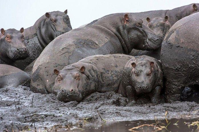 Hippos hippos everywhere....near Busanga Bush Camp, Zambia