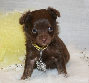 Long haired chocolate chihuahua...simply yummy...too sweet!