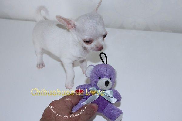 Chihuahuas Love - Cachorros Chihuahua Jugando. Cachorros Chihuahua, el Juego de Los Chihuahuas.