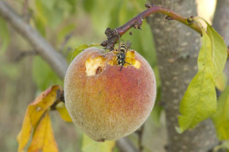 Comment confectionner un piège à guêpes pour protéger les fruits