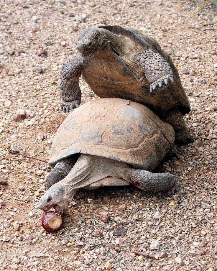 Desert tortoise HUMP DAY Desert tortoise, Tortoises