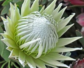 King White - Protea - Proteas and Leucadendrons - Flowers by category | Sierra Flower Finder