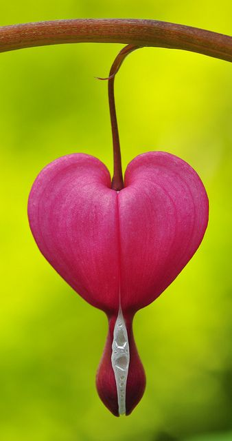 Bleeding heart, Dicentra ♥ Beautiful flowers :) garden gardening pretty cool fashion design flower