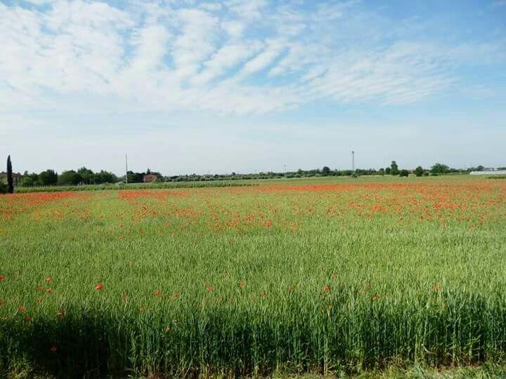 Near Vicenza, Italy. Poppies field