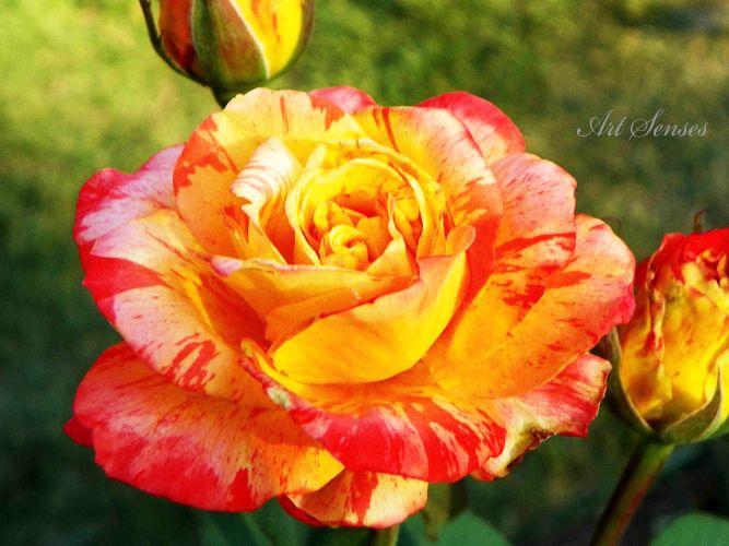 Размножаване на рози с резник в картоф | Art senses – артистични идеи за интериор и градина