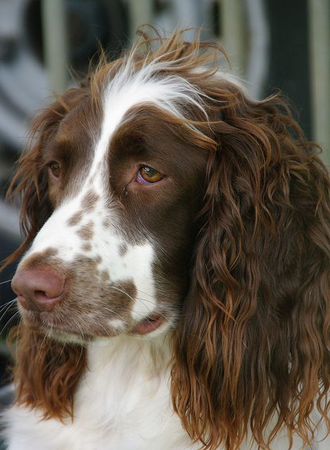 The Spaniel by Wolfywalker on Flickr. He looks like he just lost his best friend! Such a sad expression.