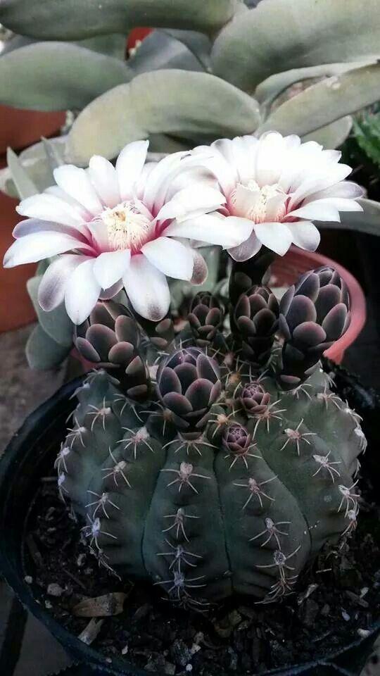 51 best flowering cactus images on pinterest cactus for Cactus santiago