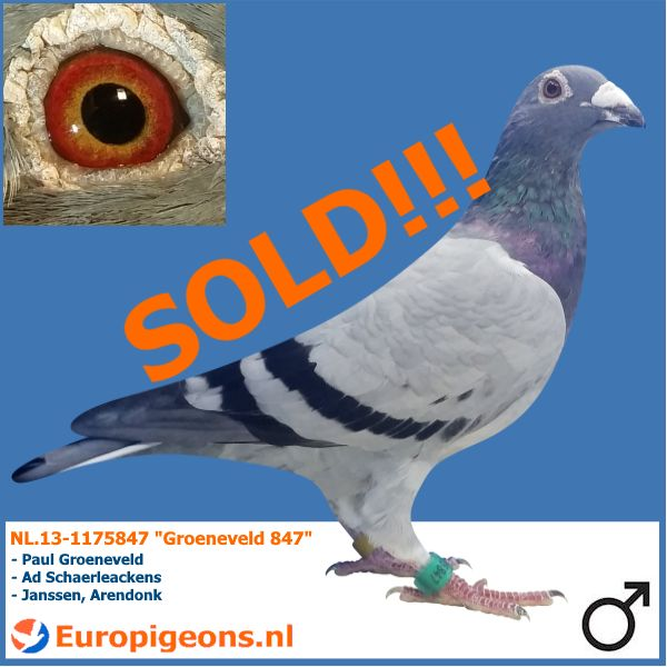 Europigeons.nl - SOLD TO GREECE Ervin good luck with this great Groeneveld pigeon! #europigeons #qualityisachoice #racingpigeons