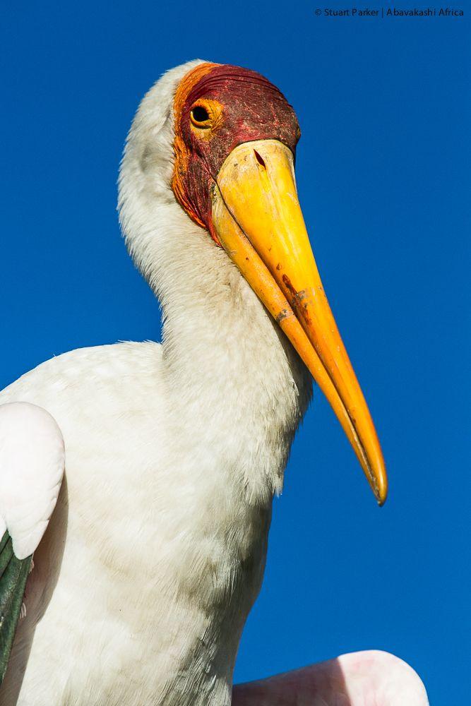 Yellow-billed stork in the heronry at Xugana Island Lodge in the Okavango Delta