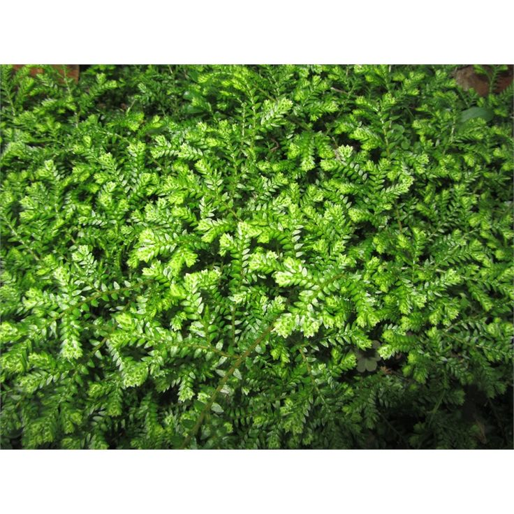 Find 200mm Selaginella Kraussiana Club Moss at Bunnings Warehouse. Visit your local store for the widest range of garden products.