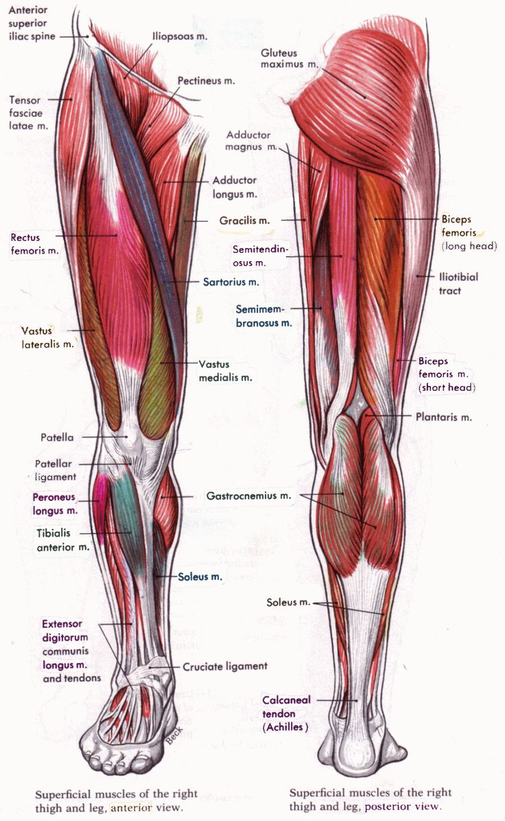 A diagram showing the muscles which make up the hip flexors and the hamstrings
