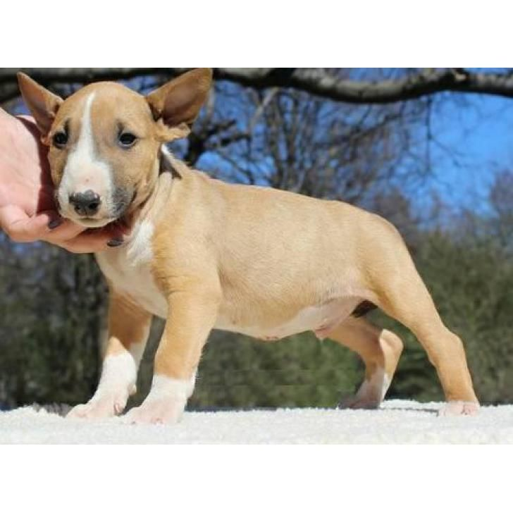 Brown & White English Bull Terrier Puppies for Sale