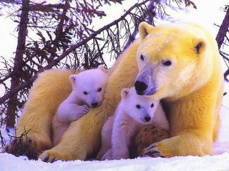 anne ayı ve yavruları