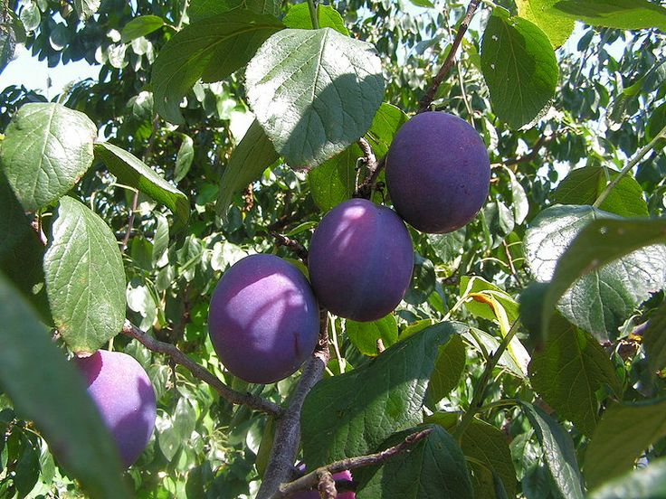 Planting Fruit Trees in North Texas « Plant Shed