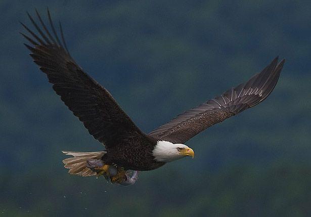 """""""Águia-de-Cabeça-Branca"""". Animal Símbolo dos Estados Unidos desde 1782."""