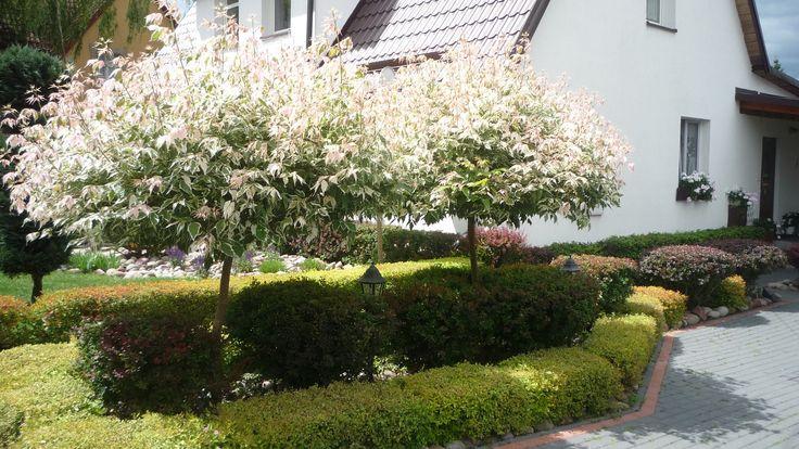 ach te flamingo. tnij na wiosnę. w pierwszym roku po posadzeniu tnij na 1/3 wysokości koronę. w następnych latach na 2/3. pięknie podziękuje, tnij również w ciągu lata. te drzewa po prostu szaleją (rosną), tworzą piękne korony. najpiękniejszy widok rano słonko - listki flamingo zielono-biało-różowe. gra światła niesamowita. i ten piękny szelest.