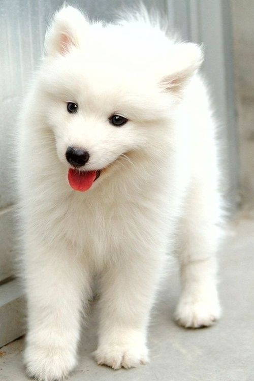 Cute little American Eskimo puppy.