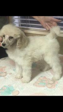 Poodle (Standard) puppy for sale in OAK VIEW, CA. ADN-58309 on PuppyFinder.com Gender: Male. Age: 10 Weeks Old