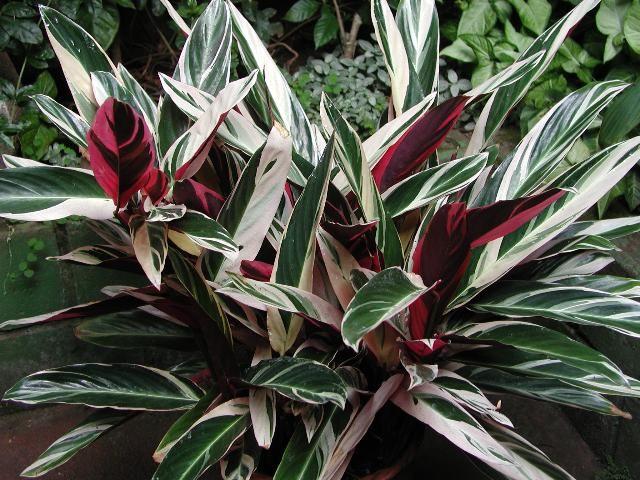 Never Never Plant Ctenanthe Oppenheimiana Secret