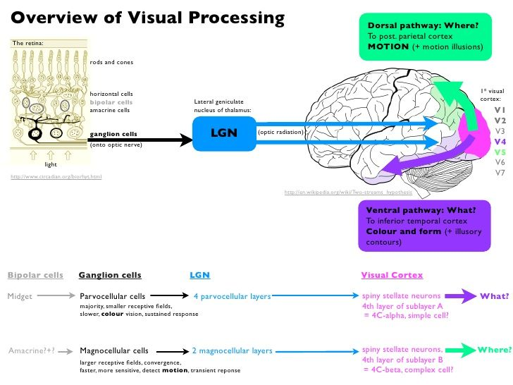 1000 Images About Visual Processing Anatomy On Pinterest
