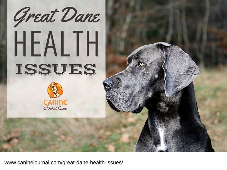 8 Great Dane Health Issues You Should Be Aware Of Great Dane