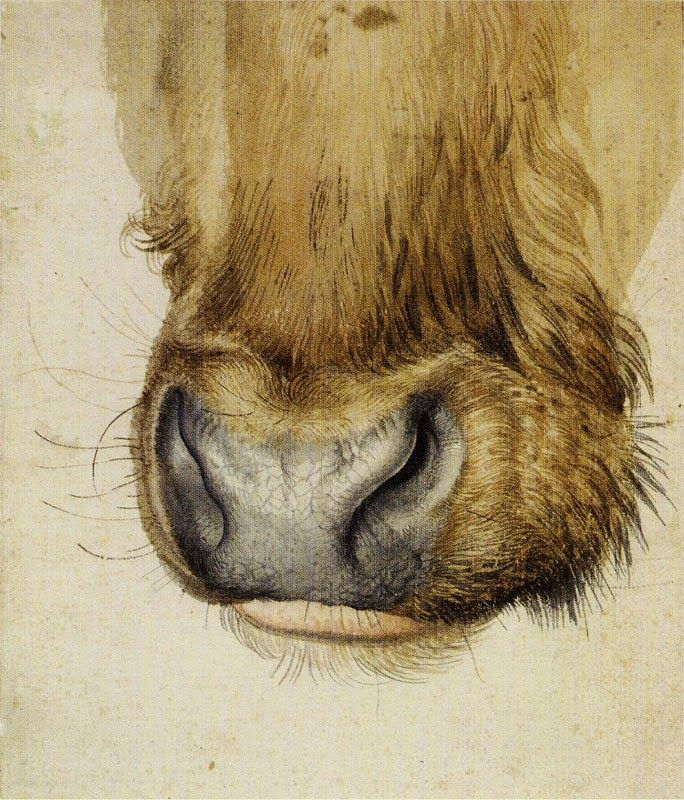 Albrecht Durer: Muzzle of an Ox, watercolor, 1502-1504.