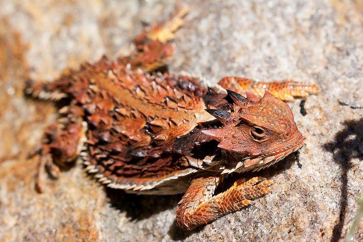 Southern-Desert-Horned-Lizard-Phrynosomatidae-Phrynosoma-platyrhinos-calidiarum