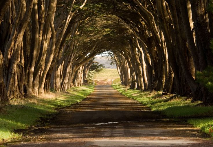 tunnel of cypress trees in Pt. Reyes National Seashore, California                                                                                                                                                                                 More