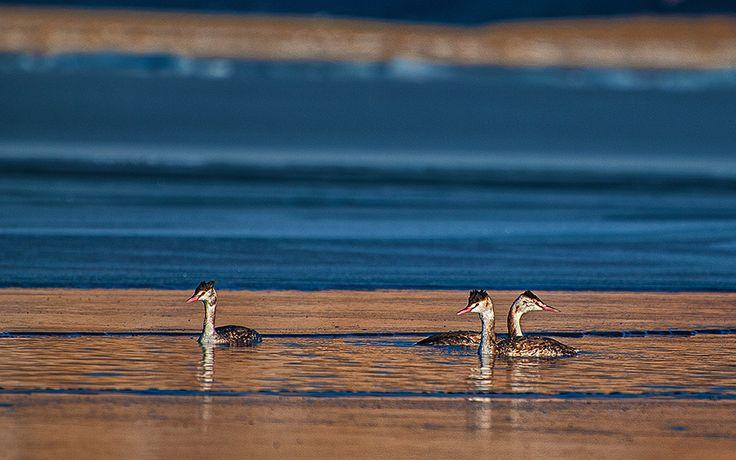 crested grebe trio at sunrise by sankar  sridhar on 500px