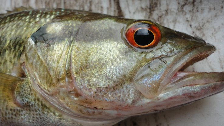 31 best images about me on pinterest bobs red eyes and for Best bass fishing lakes near me