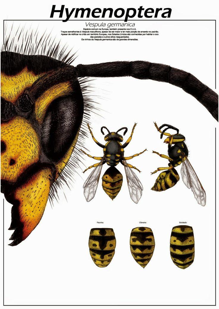 Pedro Araújo - Hymenoptera Vespula germanica