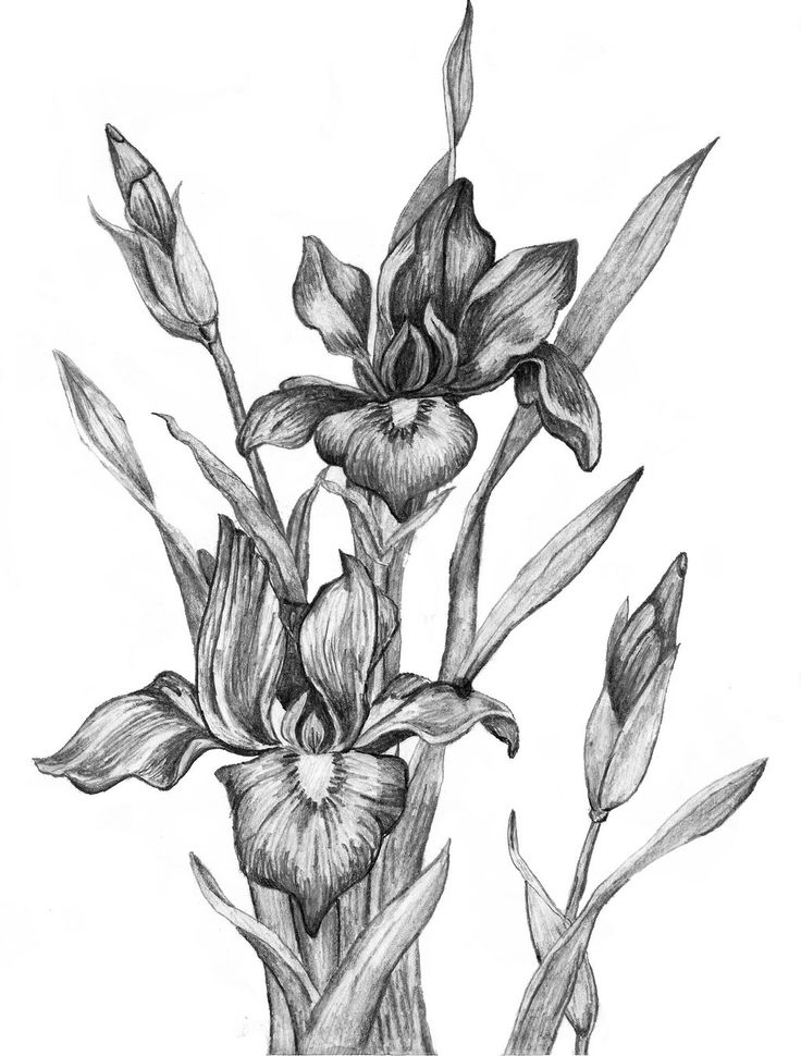 Line Drawing Of Iris Flower : Best images about flowers drawing of iris on pinterest