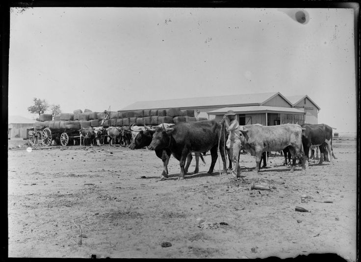 230812PD: Man tending bullock team attached to wagons loaded with wool bales outside shed, possibly near Derby, ca. 1898. https://encore.slwa.wa.gov.au/iii/encore/record/C__Rb3769089