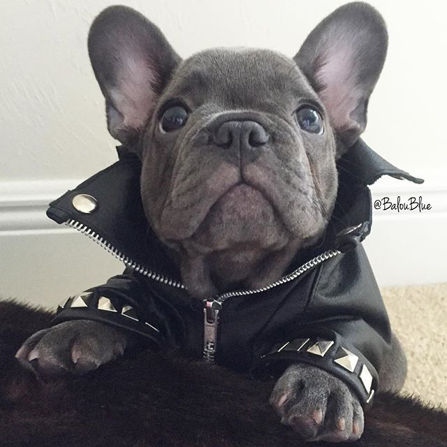 """Does this Moto Jacket make my ears look big?"", Balou Blue, a very Self Conscious French Bulldog."