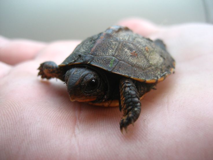 Turtles Small Pets Pinterest