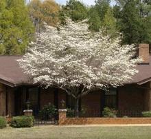 White Dogwood Tree | White Dogwood Trees