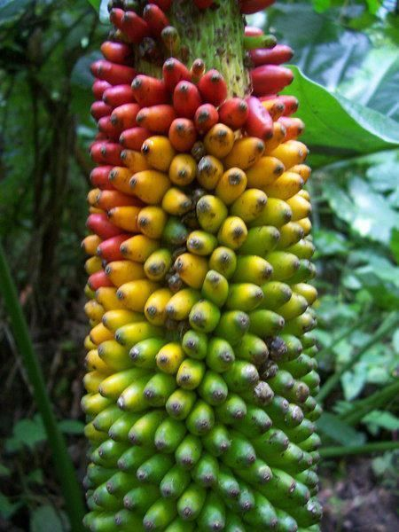 banana fruits e.g. thousand fingers (?) ... or amorphopallus (?) ..