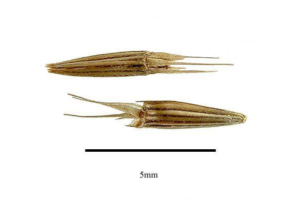 http://www.ars-grin.gov/npgs/images/sbml/Elephantopus_carolinianus_seeds.jpg