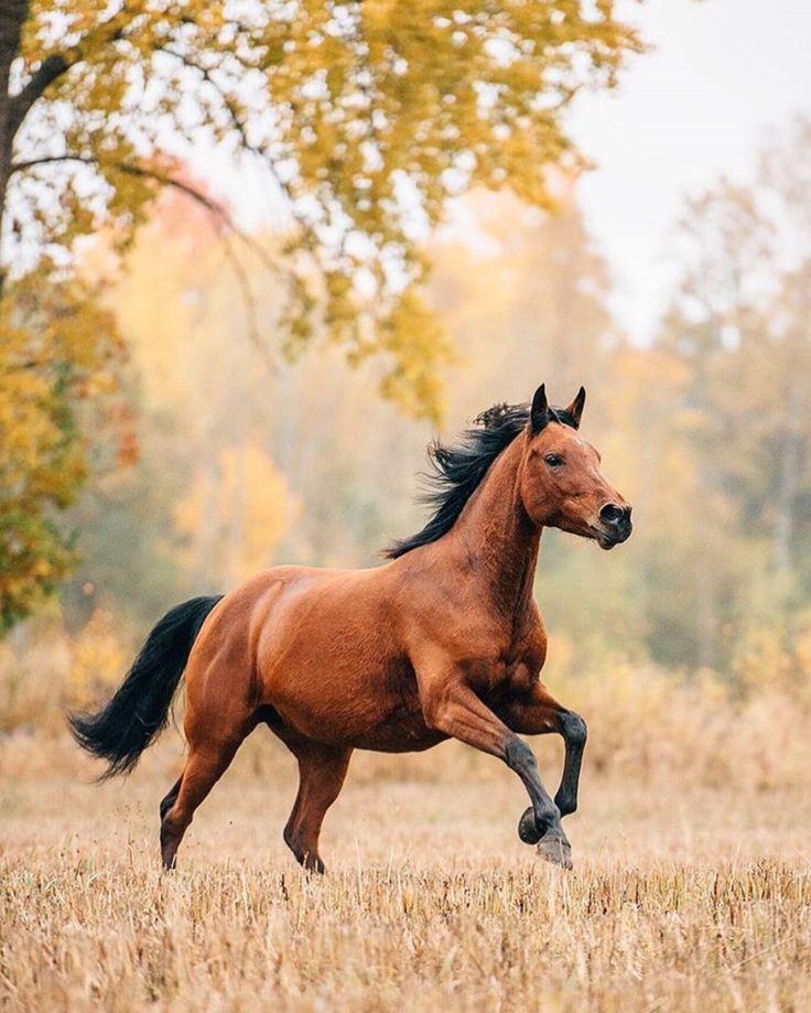 Im Wind der Freiheit galoppiert dieses prachtvolle Pferd über das Feld. #APASSIONATA